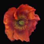 RN1178 Icelandic Poppy, Orange 2018
